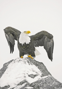 EAGLE_ON_A_ROCK_PF6M4376