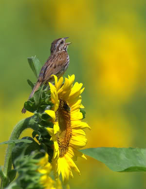 bird_on_sunflower